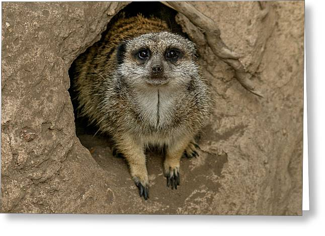 Meerkat Greeting Card by Ernie Echols