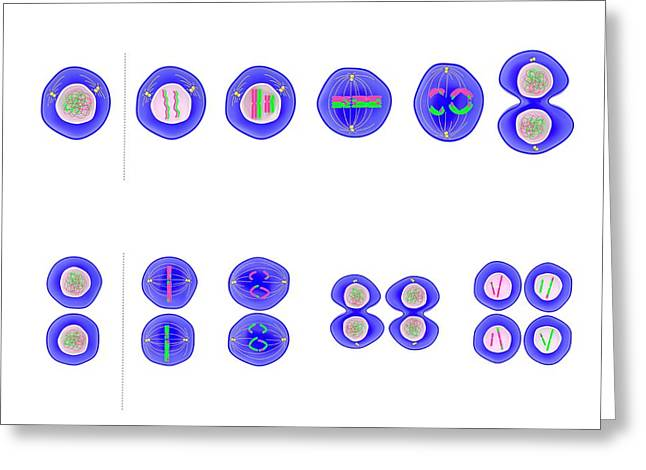 Meiosis Cell Division Greeting Card by Science Photo Library