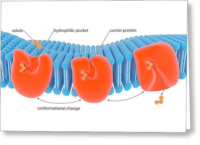 Membrane Carrier Proteins Greeting Card by Science Photo Library