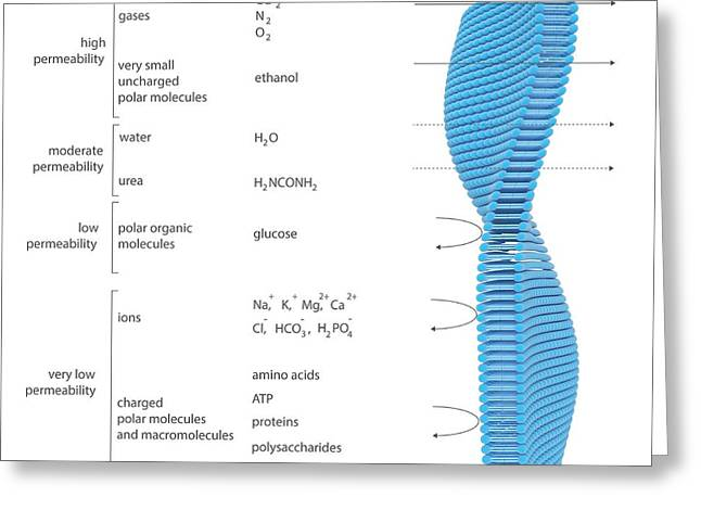 Membrane Permeability Greeting Card by Science Photo Library