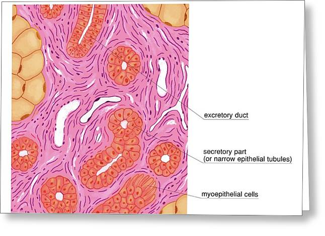 Merocrine Sweat Glands Greeting Card by Asklepios Medical Atlas