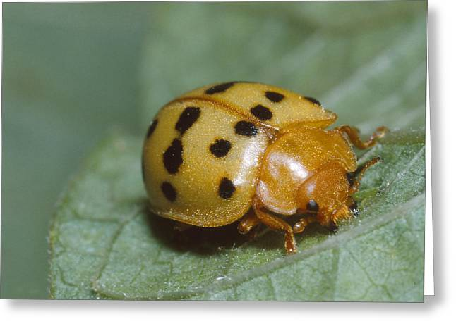 Mexican Bean Beetle Greeting Card by Harry Rogers