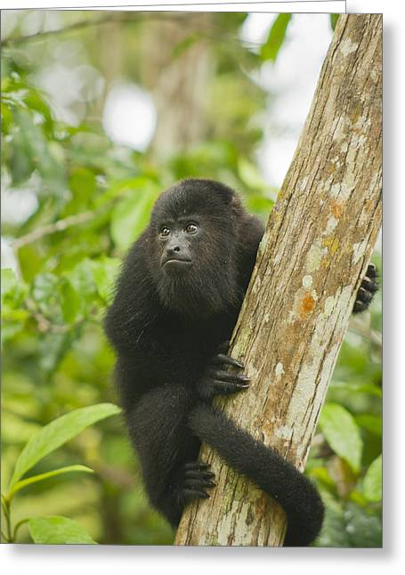 Mexican Black Howler Monkey Belize Greeting Card by Kevin Schafer