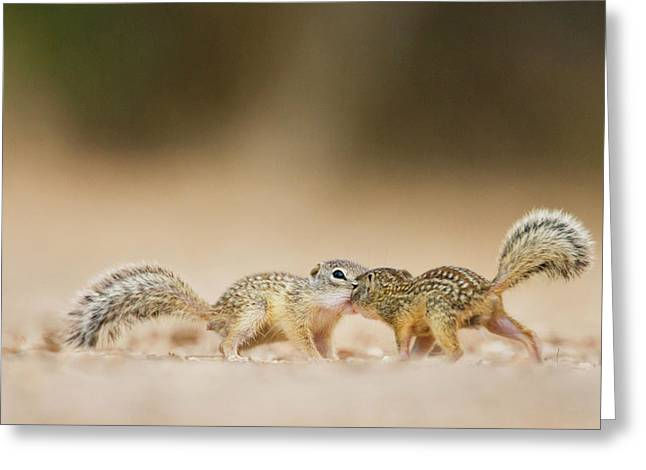 Mexican Ground Squirrel (spermophilus Greeting Card by Larry Ditto