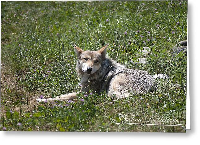 Greeting Card featuring the photograph Mexican Wolf I by Tina Hopkins