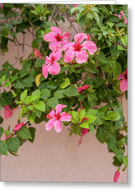 Mexico, Cozumel, Hibiscus Greeting Card