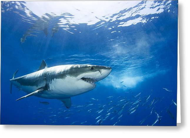Mexico, Great White Shark Carcharodon Greeting Card