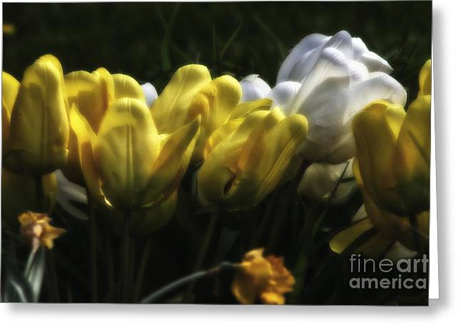 Midnight Tulips Greeting Card by Timothy J Berndt
