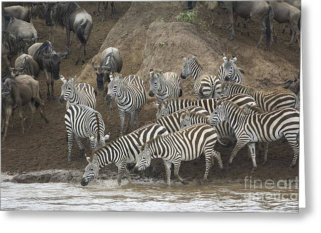 Migrating Zebras And Wildebeests Greeting Card by John Shaw
