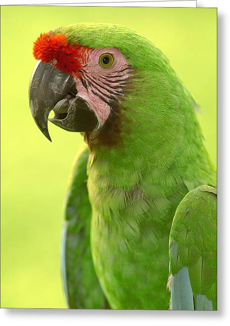 Military Macaw Portrait Amazonian Greeting Card by Pete Oxford