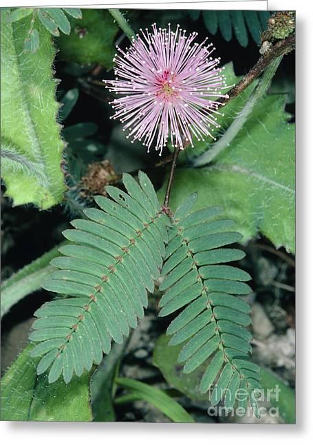 Mimosa Pudica Greeting Card by Bob Gibbons