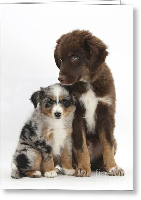 Mini American Shepherd Pups Greeting Card by Mark Taylor