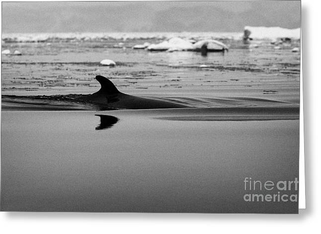 Minke Whale Surfacing With Dorsal Fin In Fournier Bay Antarctica Greeting Card by Joe Fox