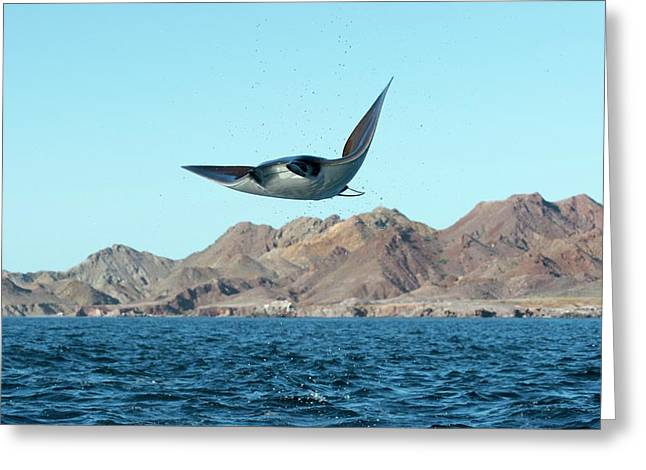 Mobuyla Ray Leaping Greeting Card by Christopher Swann