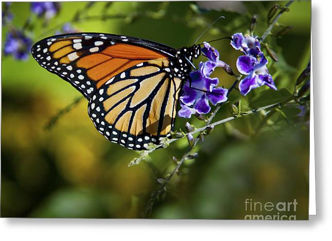 Greeting Card featuring the photograph Monarch Butterfly by David Millenheft