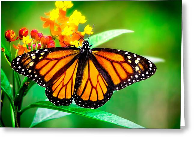 Monarch Butterfly Greeting Card by Mark Andrew Thomas