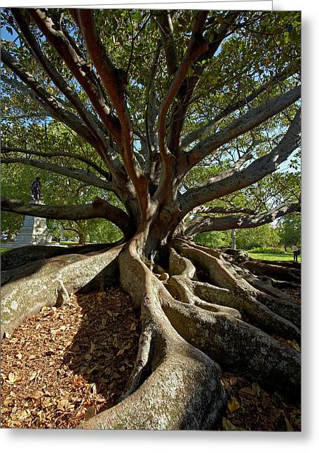 Moreton Fig Tree (ficus Macrophylla Greeting Card by David Wall