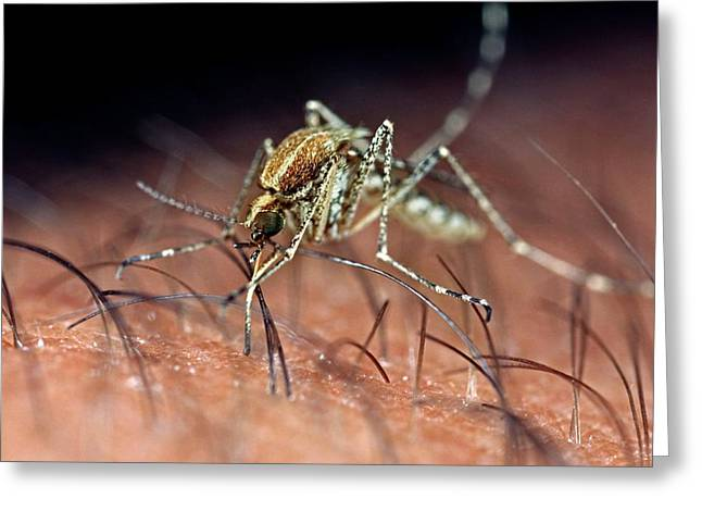 Mosquito Biting Hand Greeting Card by Frank Fox