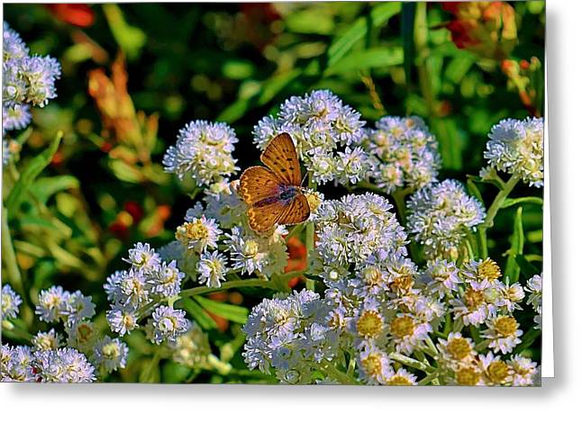 Moth On Pearly Everlasting Greeting Card