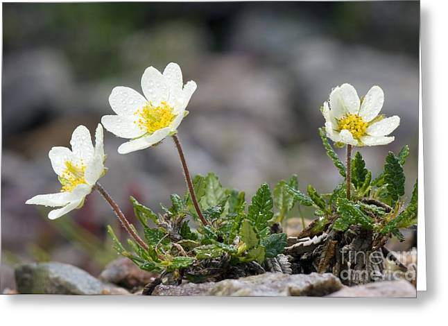 Mountain Avens Dryas Octopetala Greeting Card by Duncan Shaw