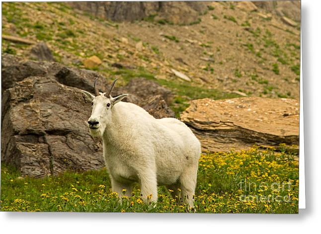 Mountain Goat In Glacier National Park Greeting Card by Natural Focal Point Photography