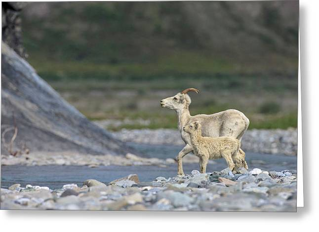 Mountain Goats Along Kongakut River Greeting Card by Tom Norring