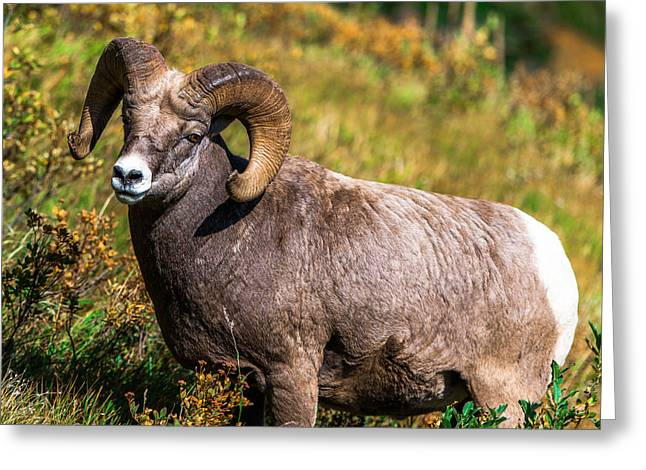 Mountain Goats  Greeting Card by Rohit Nair