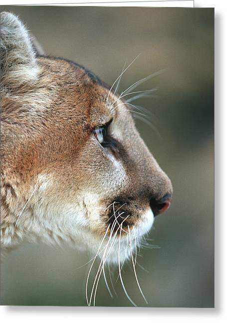 Mountain Lion (felis Concolor Greeting Card by Richard and Susan Day