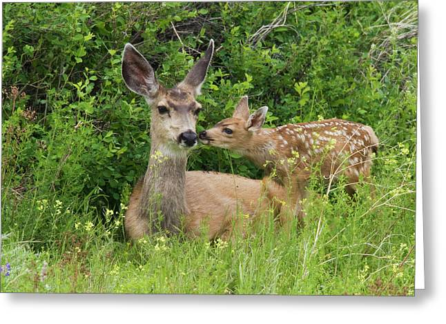 Mule Deer Doe With Fawn Greeting Card by Ken Archer