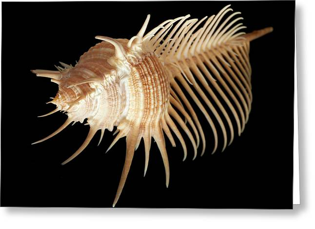 Murex Pecten Greeting Card by Natural History Museum, London
