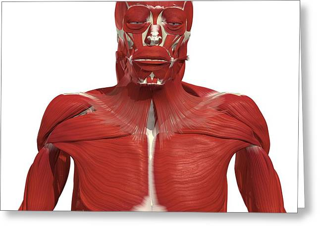Muscles Of The Upper Body Greeting Card by Medical Images, Universal Images Group