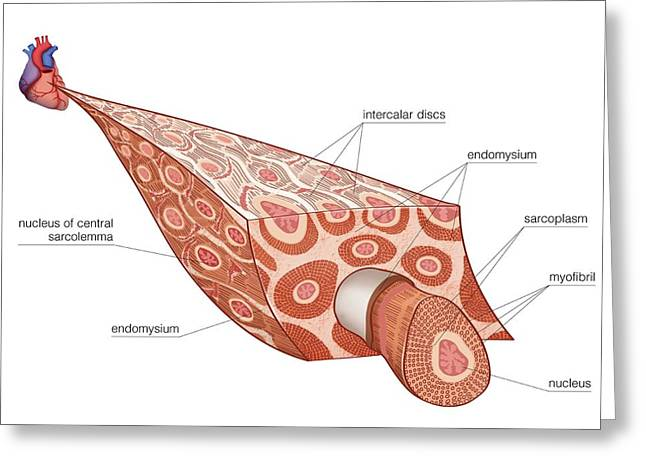Muscular Tissue Of Cardiac Muscle Greeting Card by Asklepios Medical Atlas