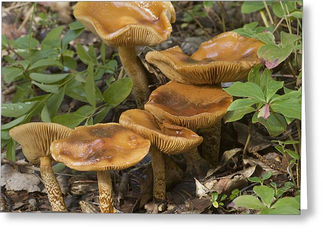 Mushroom Growing In Forest Understory Greeting Card