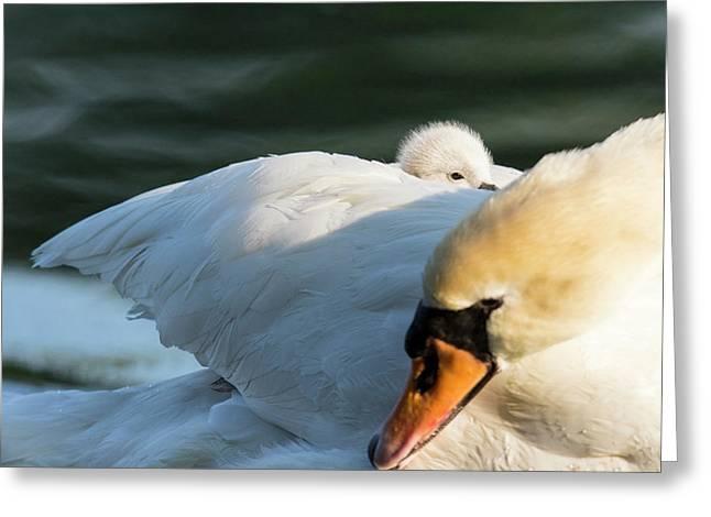 Mute Swan (cygnus Olor Greeting Card