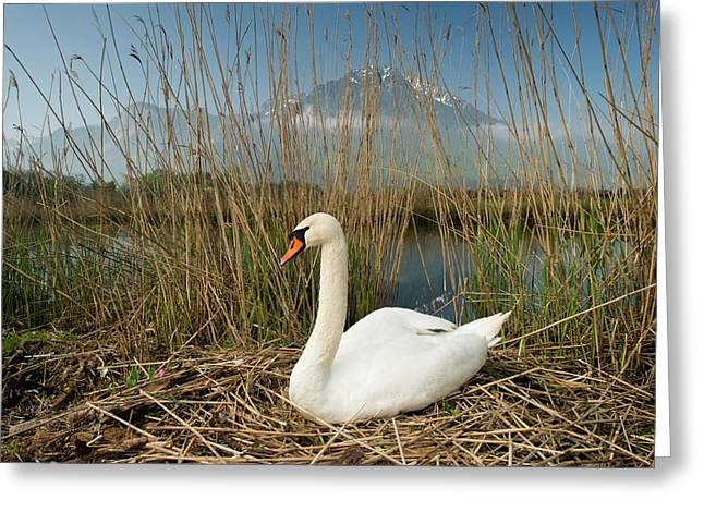 Mute Swan Greeting Card by Duncan Shaw