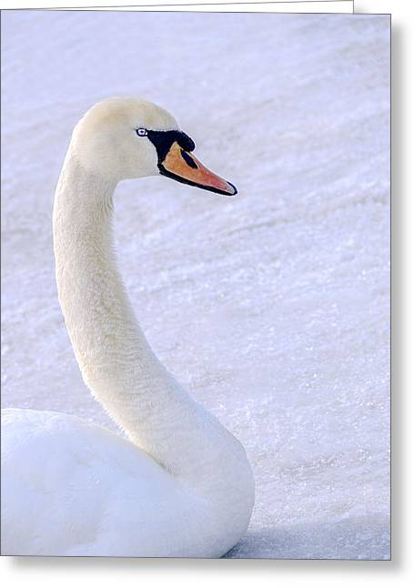 Mute Swan On Ice Greeting Card