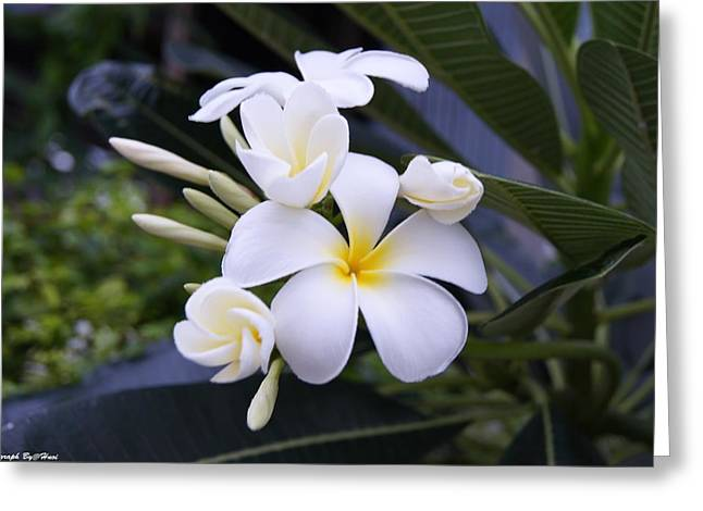 My Plumeria  Greeting Card by Gornganogphatchara Kalapun