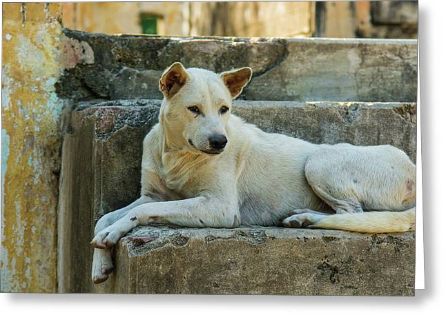 Myanmar Mandalay Mingun Local Dog Rests Greeting Card by Inger Hogstrom