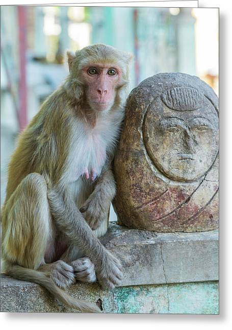 Myanmar Mt Popa Rhesus Macaque Resting Greeting Card