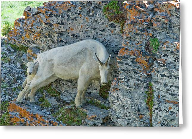 Nanny Mountain Goat And Kid, Oreamnos Greeting Card