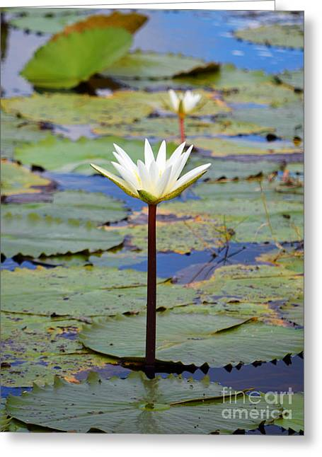 Natural Water Lily Flowers And Pads Found On The East Side Of Cozumel Mexico Greeting Card by Shawn O'Brien