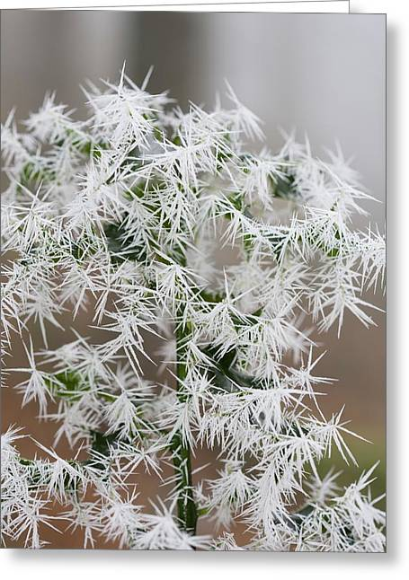 Needle Ice On Holly Leaves Greeting Card by Ashley Cooper