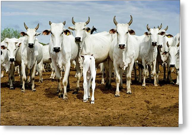 Nelore Cattle Greeting Card by Tony Camacho/science Photo Library