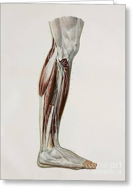 Nerves Of The Lower Leg, 1844 Artwork Greeting Card
