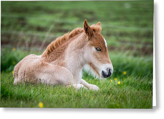New Born Foal, Iceland Purebred Greeting Card