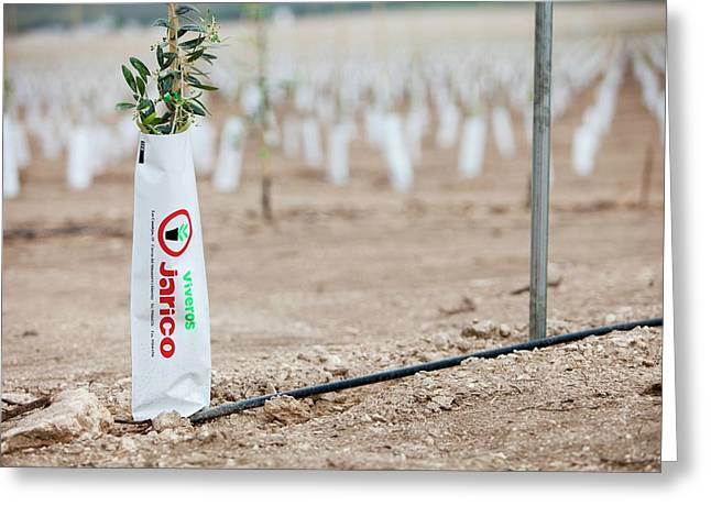Newly Planted Olive Tree Grove Greeting Card