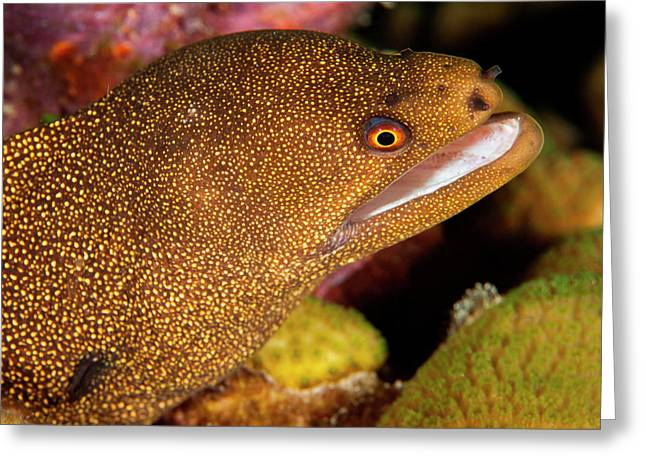 Night Dive Photograph Of Goldentail Eel Greeting Card by James White