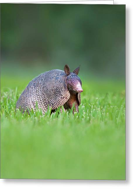 Nine-banded Armadillo (dasypus Greeting Card by Larry Ditto