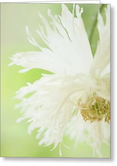 Nodding White Peony Poppy Greeting Card