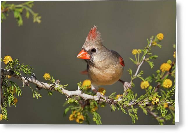 Northern Cardinal (cardinalis Cardinalis Greeting Card by Larry Ditto